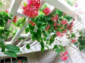 Những giống cây hoa thích hợp để làm giàn leo trước nhà