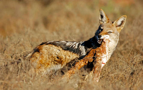 Chó rừng ranh mãnh bắt đàn con trước mắt lợn rừng mẹ