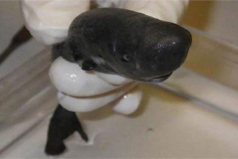 Cận cảnh loài cá mập tí hon, có túi cực hiếm