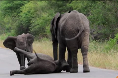 Xem voi mẹ vụng về nâng con ngã giữa đường