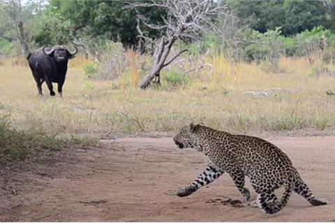 Báo gấm tháo chạy khi đối mặt với trâu rừng
