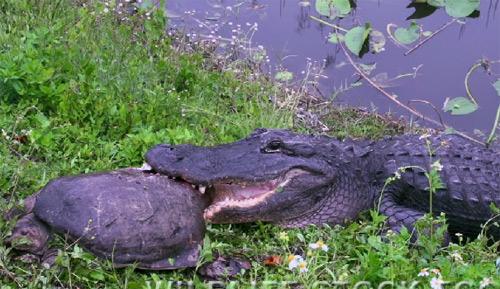 Xem cá sấu xơi tái cả rùa