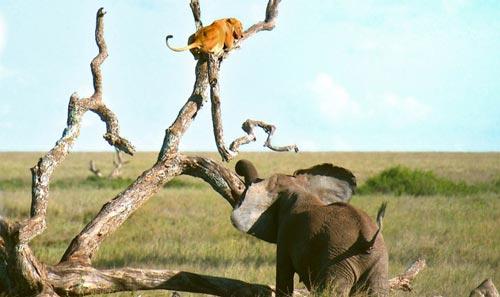 Sư tử hoảng hốt trèo cây trốn voi dữ rượt đuổi