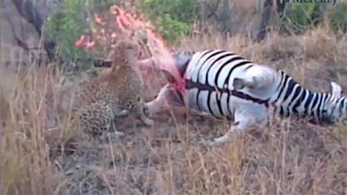 Xác ngựa vằn bắn máu xối xả khiến báo đốm bỏ chạy