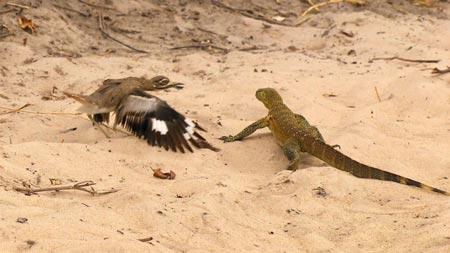 Chim nổi giận, tấn công thằn lằn khủng