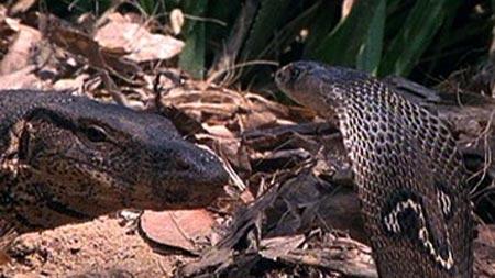Kết cục bất ngờ khi rắn hổ chạm trán thằn lằn khủng