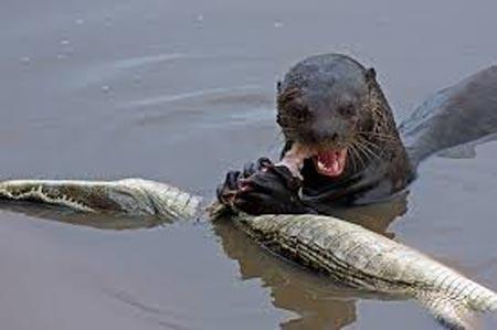 Cá sấu châu Mỹ tử nạn trong vòng vây của rái cá