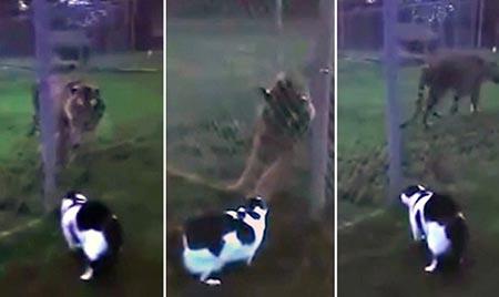 Kinh ngạc cảnh mèo dọa hổ
