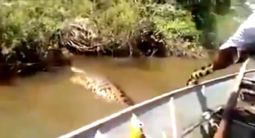 Bắt trăn Anaconda khủng sông Amazon bằng tay không
