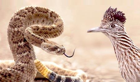 Xem gà lôi đuôi dài làm thịt rắn đuôi chuông