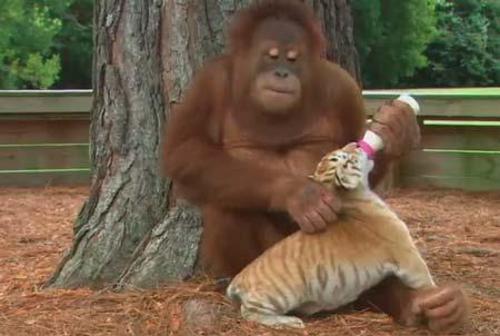 Chuyện lạ: Đười ươi làm bảo mẫu cho hổ