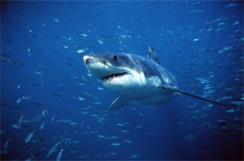 VN had unusually high numbers of shark attacks?