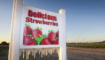 Eating freeze-dried strawberries may help prevent esophageal cancer: study