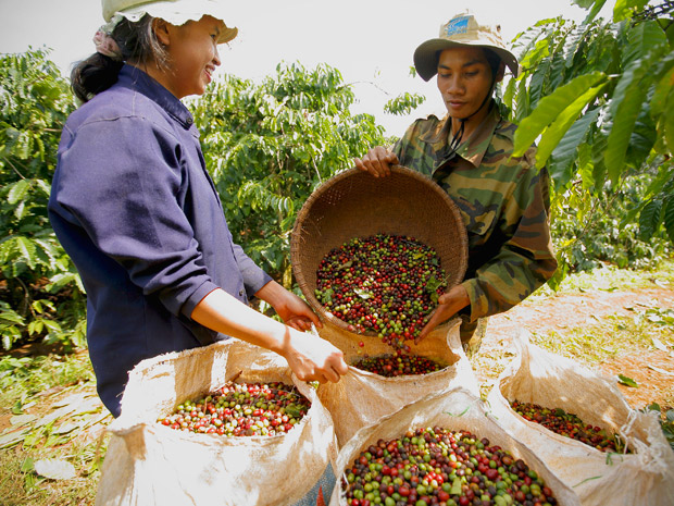 vietnam coffee industry The robusta price in the past had climbed to as much as vnd50 million per ton, which helped many farmers get rich however, it has tumbled dramatically to below production cost.
