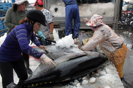 Chinese fishing technology extirpates Binh Dinh's tunas