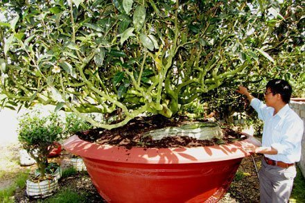 Ancient tea trees hunted high and low because they bring luck