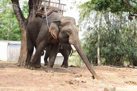 Dak Lak to give a bonus to breeders if their elephants have babies
