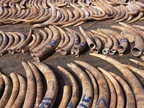 Vietnam, tusk, ivory, rhino horn, smuggling, trafficking