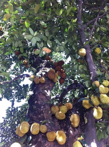 strange fruits, strange trees, Vietnam