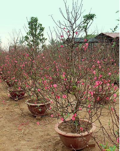 lunar new year, nhat tan flower village, hanoi, peach, kumquat