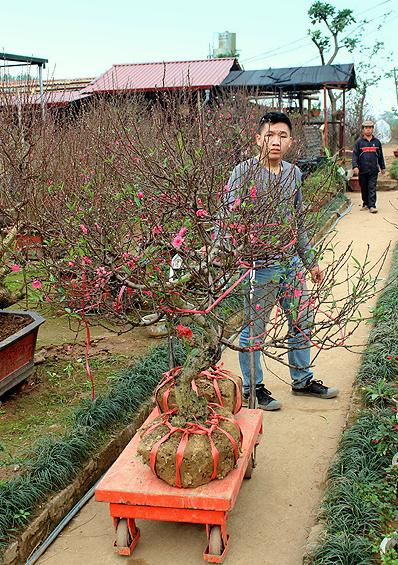 lunar new year, nhat tan flower village, hanoi, peach, kumquat