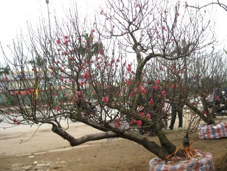 bonsai tree, peach, apricot, tet, expensive