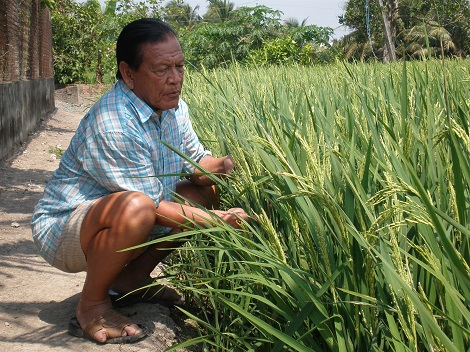 "The ""king"" of seed rice in the Mekong Delta"