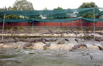 Crocodile farmer builds 'freshie' empire