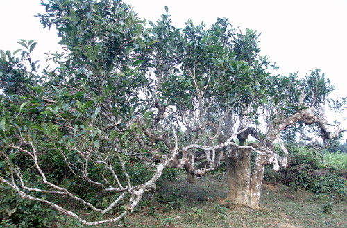 ancient tea tree, suoi giang, shan tuyet tea