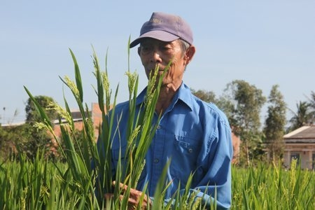 Vietnam, rice variety, Chinese businessmen, environment, agriculture
