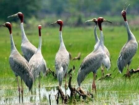 Kien Giang, Red-headed cranes, IUNC