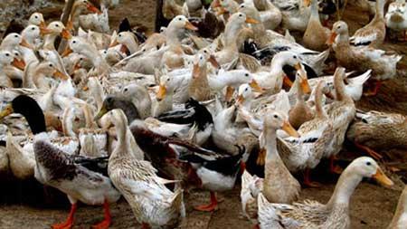 Mekong Delta, H5N1 virus, bird flu vaccines