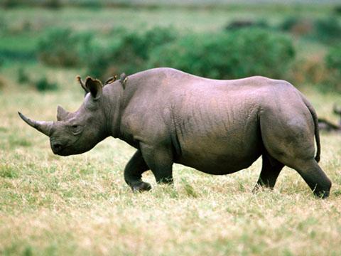 cites, rhino horn, trafficking, vietnam