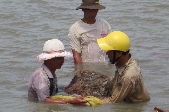Vietnam, shrimp, scrambling, local production, illegal exports