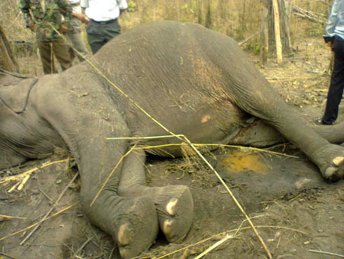 Dak Lak: 63-year-old elephant died of overwork