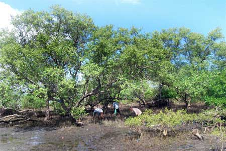 Quang Nam, cutting down trees, mangrove trees, protect villagers
