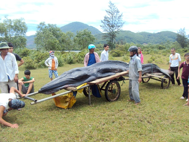 The first who saw the giant fish - Mr. Le Anh Tam, a fisherman of Phu Hai 1 village, Vinh Loc commune, said that he discovered the fish at about 6.30am on May 11, while checking his nets.