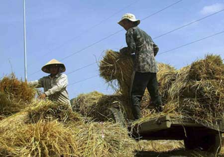 Mekong Delta, rice stockpiling, winter-spring crop, summer-autumn rice crop