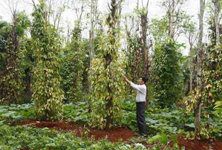 King crop, pepper farming, farming households