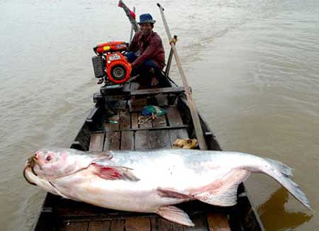 Mekong Delta, Tien River, Giant catfish