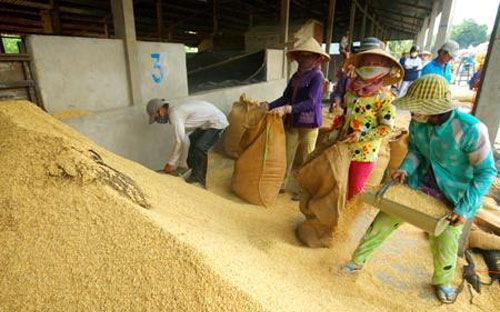 rice, rice farmer, rice export, field