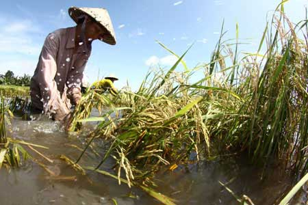 Farmers in Vi Thuy District in Mekong Delta province of Hau Giang salvage their rice crop after being hit by a flood. More support policies and programmes are urged for rural farmers to help them deal with shocks including natural disasters.