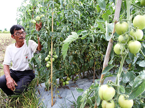 Hundreds of farmers afflicted by Chinese seedlings