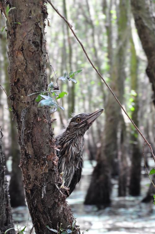 cajuput forest, tra su, bird sanctuary