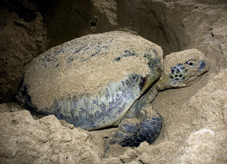 Watching turtles laying their eggs in Con Dao National Park