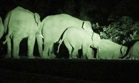 Wild elephants, central highlands, destroy crops, Yok Don National Park