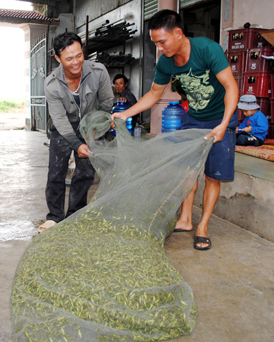 locusts, grasshoppers, nghe an, quynh luu