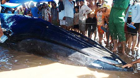 10-tonne whale stranded in Soc Trang