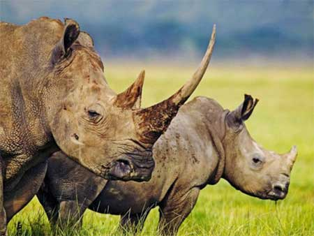 Wildlife, Viet Nam, rhino horn, TRAFFIC