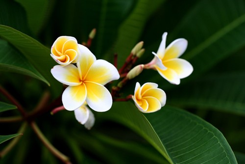 floral emblems, national flowers, asean, southeast asia